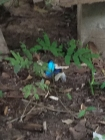 a blue morpho butterfly. It was amazing seeing this blue beauty flutter about. Wish I'd gotten a better photo