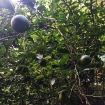 A lime tree