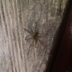 Wolf spider. These guys were everywhere and some of them were huge!
